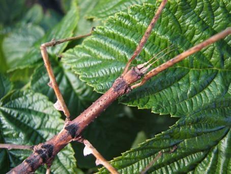 PSG 224 - Parapachymorpha zomproi - Volwassen vrouw