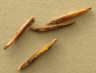 PSG 225 - Clonaria conformans - Eitjes