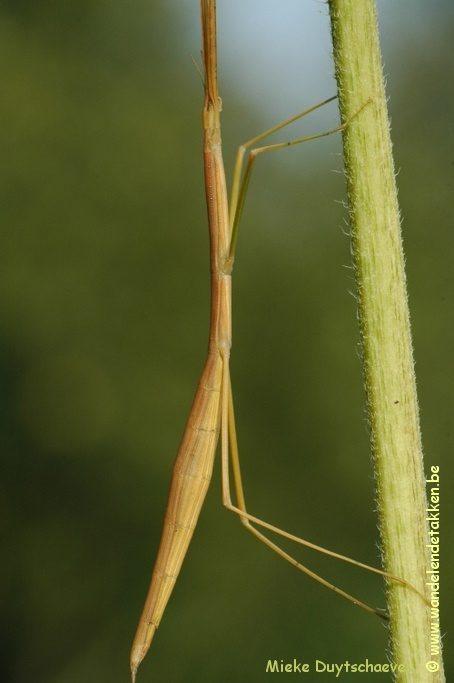 PSG 225 - Clonaria conformans - Oudere volwassen vrouw