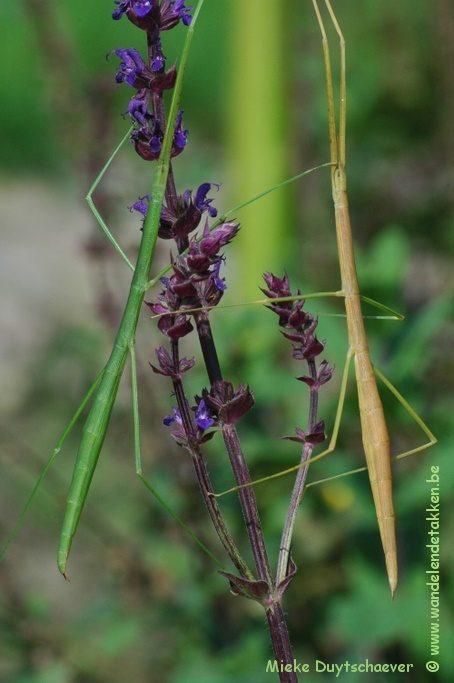 PSG 225 - Clonaria conformans - Jonge en oudere volwassen vrouw