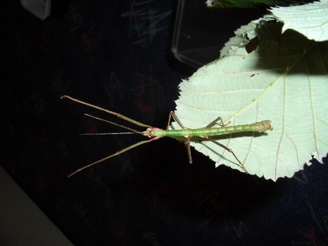 PSG 234 - Xylica oedematosa - Volwassen man