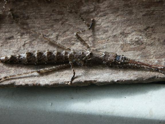 PSG 238 - Dinophasma kinabaluensis - Volwassen vrouw