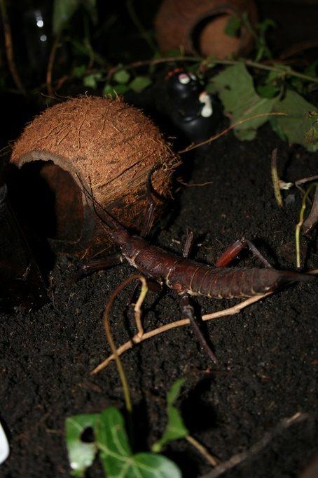 PSG 23 - Eurycantha calcarata var. - Volwassen vrouwtje