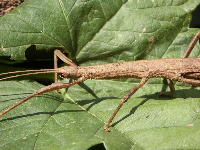 PSG 240 - Lamponius portoricensis - Volwassen vrouw
