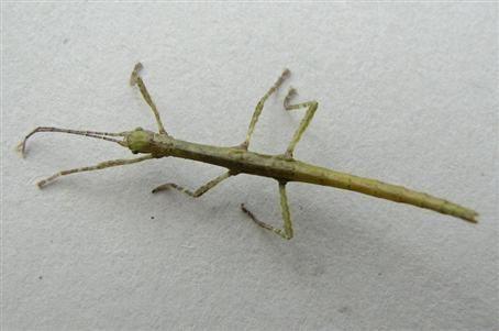 PSG 240 - Lamponius portoricensis - Nimf