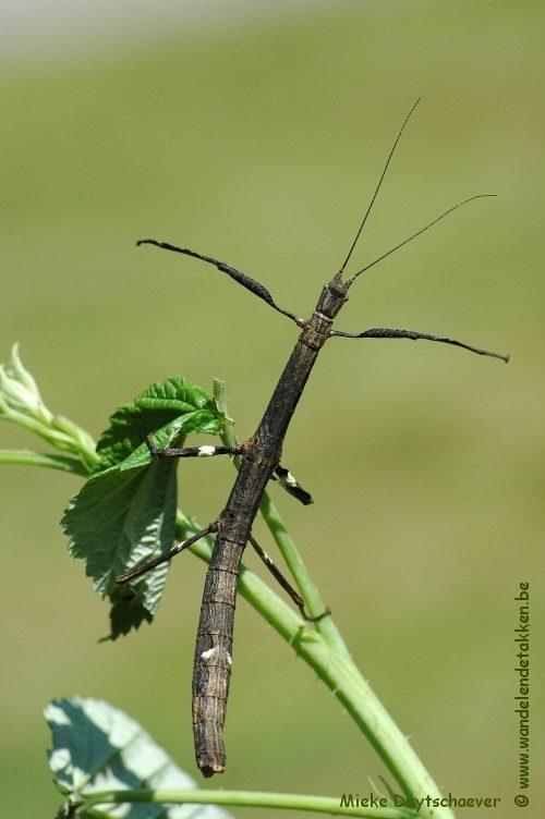 PSG 246 - Mnesilochus rusticus - Volwassen vrouw