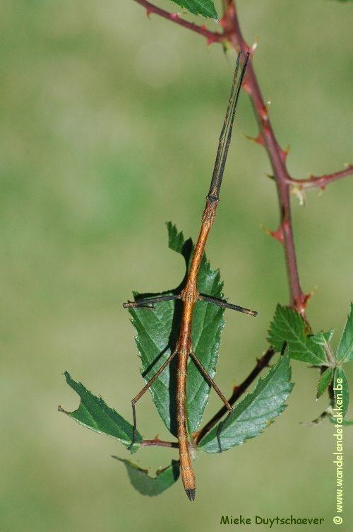 PSG 246 - Mnesilochus rusticus - Volwassen man