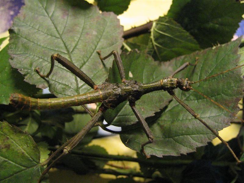 PSG 255 - Trachyaretaon carmelae - Volwassen groen mannetje