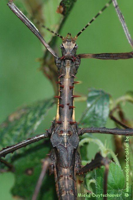 PSG 258 - Parectatosoma mocquerysi - Volwassen man
