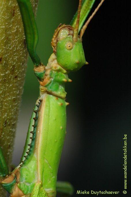 PSG 260 - Diapherodes gigantea - Volwassen vrouw