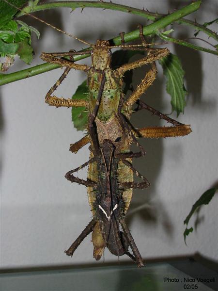 PSG 26 - Haaniella echinata - Parend koppel