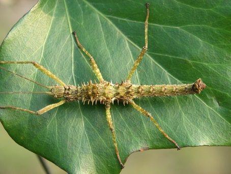 PSG 272 - Spinohirasea bengalensis - Mannelijke nimf