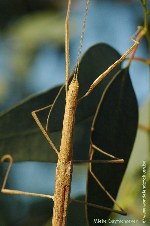 PSG 276 - Sipyloidea menptolemus - Volwassen vrouw
