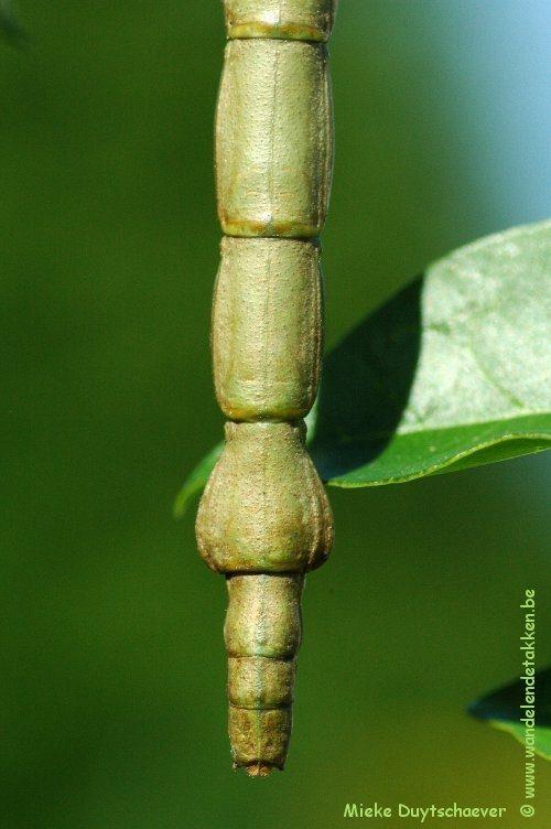 PSG 282 - Lonchodes philippinicus - Volwassen vrouw