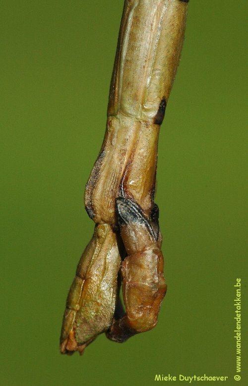 PSG 282 - Lonchodes philippinicus - Paring