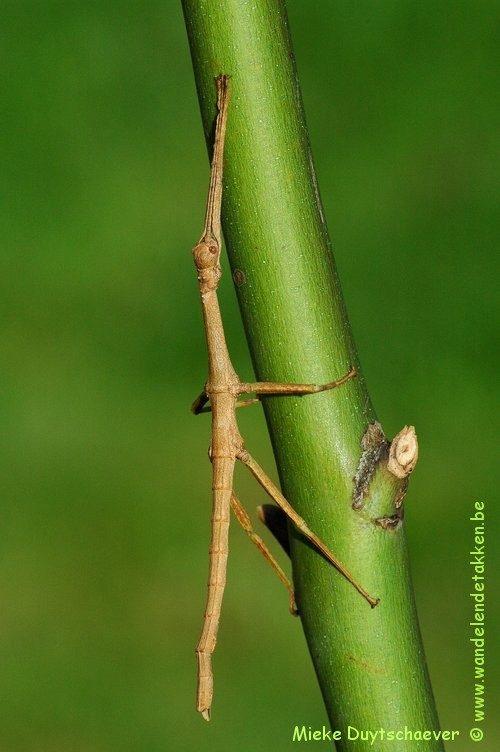 PSG 283 - Diapherodes venustula - Vrouwelijk nimf