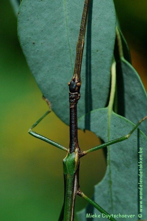 PSG 283 - Diapherodes venustula - Volwassen man -Zwart