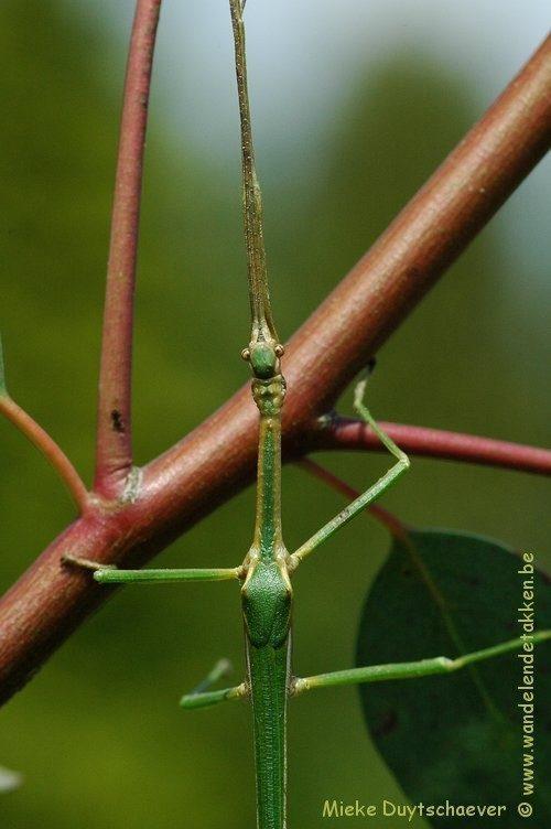 PSG 283 - Diapherodes venustula - Volwassen man