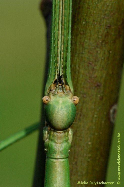 PSG 287 - Eucarcharus feruloides - Volwassen vrouw