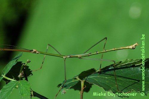 PSG 287 - Eucarcharus feruloides - Volwassen man