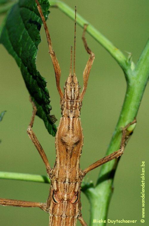PSG 297 - Hypocyrtus scythrus - Volwassen vrouw