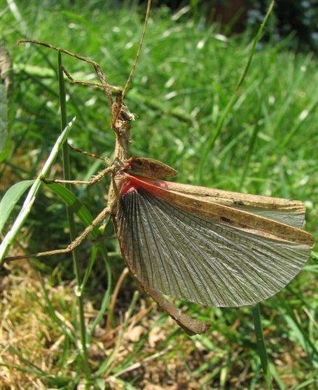 PSG 31 - Creoxylus spinosus - Volwassen man met opengesperde vleugels