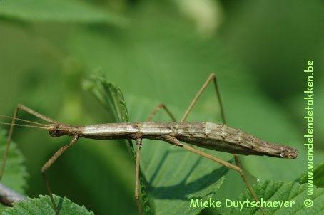 PSG 32 - Ocnophiloidea regularis - Volwassen vrouw