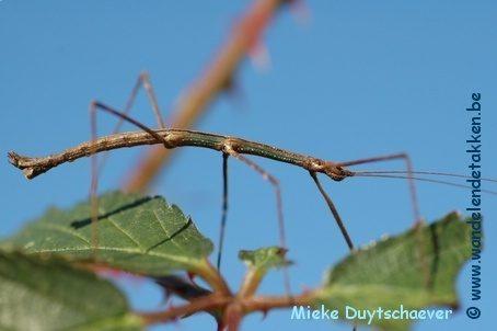 PSG 32 - Ocnophiloidea regularis - Volwassen man