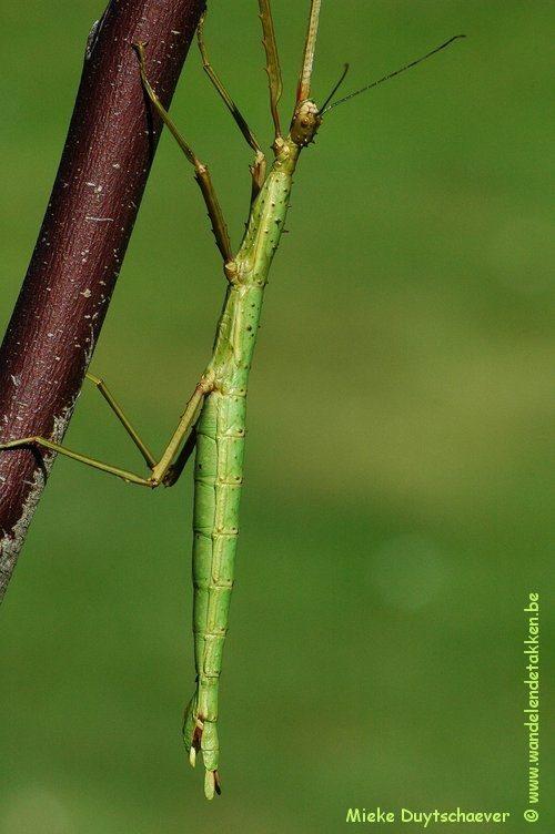 PSG 33 - Acanthoxyla intermedia - Volwassen vrouw