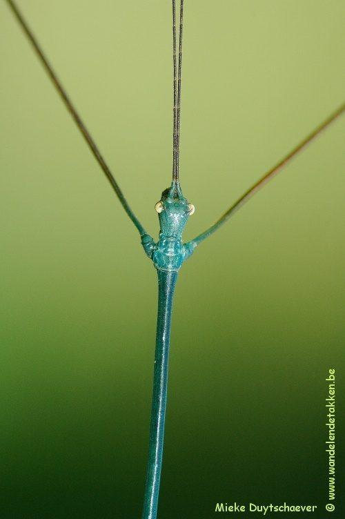 PSG 55 Ramulus nematodes - Volwassen man - blauwe variant