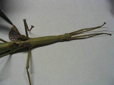 PSG 61 - Haplopus micropterus - Volwassen vrouw