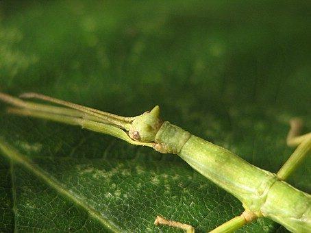 PSG 61 - Haplopus micropterus - Vrouwelijke nimf