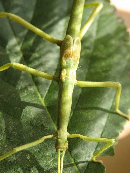 PSG 61 - Haplopus micropterus - Subvolwassen man