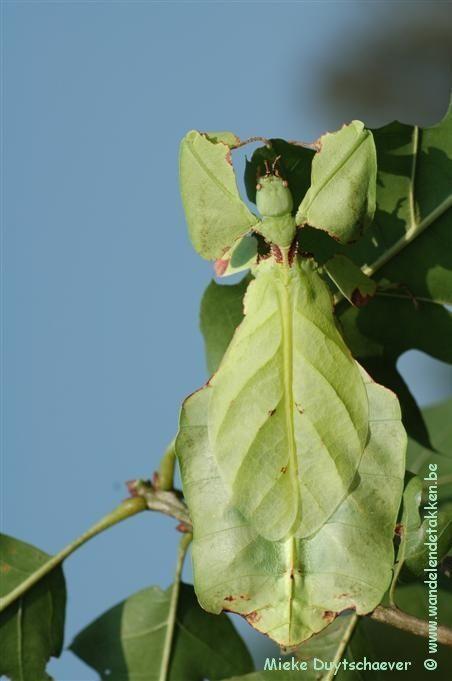 PSG 72 - Phyllium giganteum - Volwassen vrouw