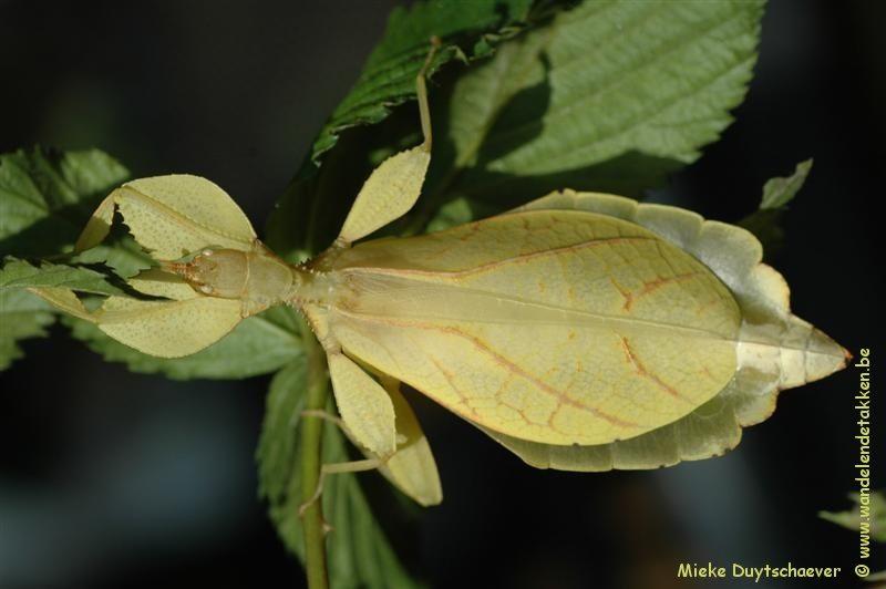 PSG 278 - Phyllium philippinicum - Volwassen vrouw, gele kleurvariant