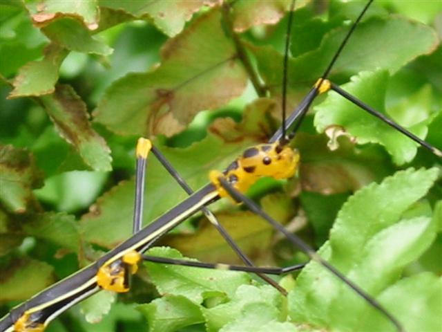 PSG 84 - Oreophoetes peruana - Nimf