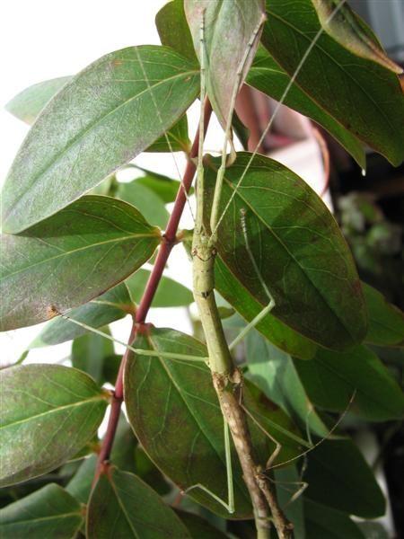 PSG 89 - Sosibia parvipennis - Volwassen vrouwtje
