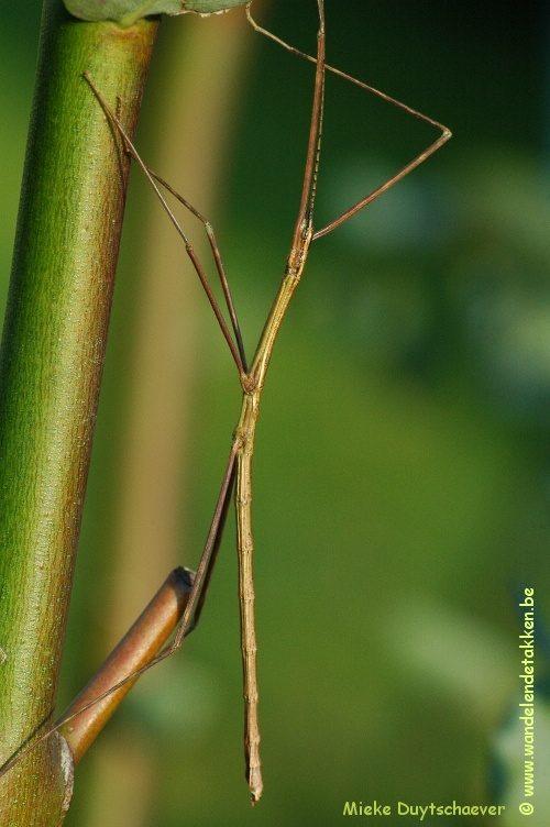 PSG 90 - Rhamphosipyloidea gorkomi - Volwassen man