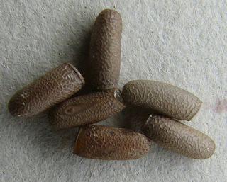 PSG 90 - Rhamphosipyloidea gorkomi - Eitjes