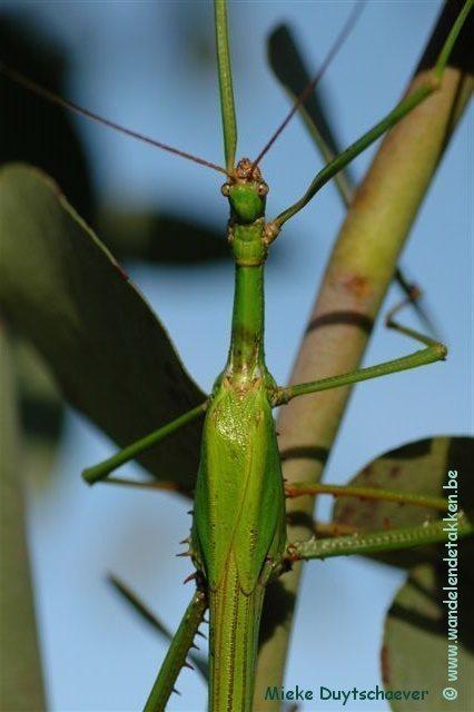 PSG 286 - Monandroptera acanthomera - Volwassen mannetje