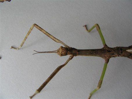 PSG 286 - Monandroptera acanthomera - Mannelijke nimf