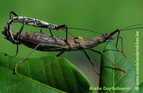 Vreemde paring met Anisomorpha buprestoides