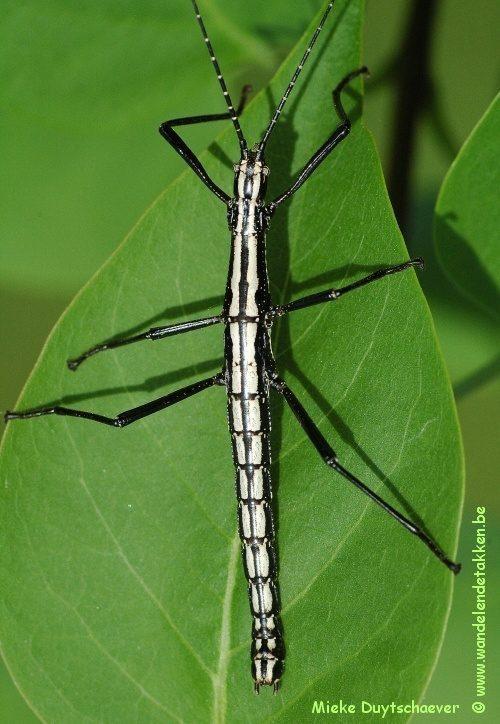 PSG 12 - Anisomorpha buprestoides 'ocala' - Volwassen man