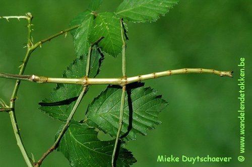 Baculonistria alba - Subvolwassen man