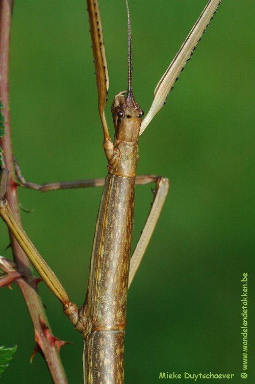 Baculonistria alba - Volwassen vrouw