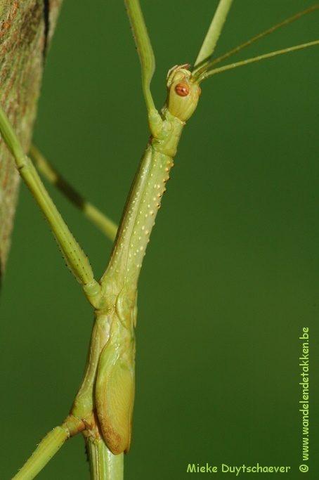 PSG 292 - Anchiale stolli - Subvolwassen man