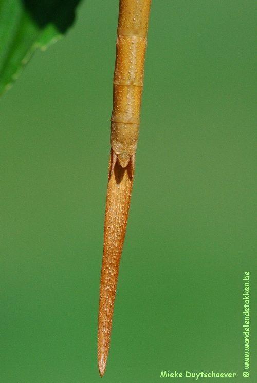 Calynda coronata - Volwassen vrouw