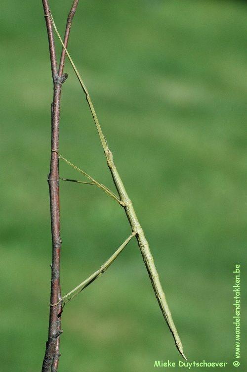 PSG 315 - Entoria nuda - Volwassen vrouw