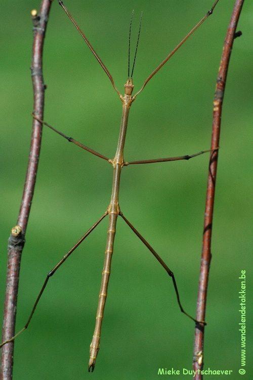 PSG 315 - Entoria nuda - Volwassen man