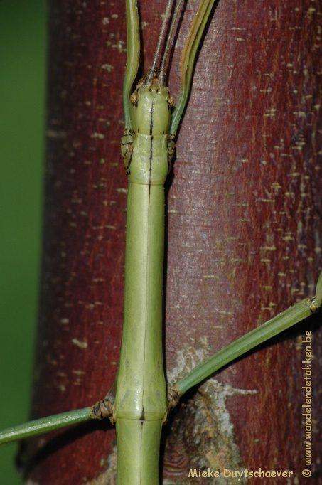 PSG 268 - Leiophasma lucubense - Volwassen vrouw